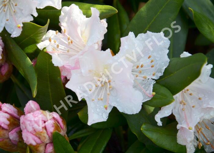 Pěnišník 'Rosa Regen' - Rhododendron 'Rosa Regen'
