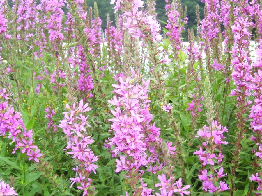 Kyprej vrbice - Lythrum salicaria