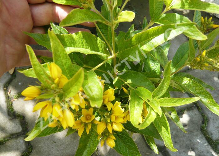 Vrbina - Lysimachia vulgaris