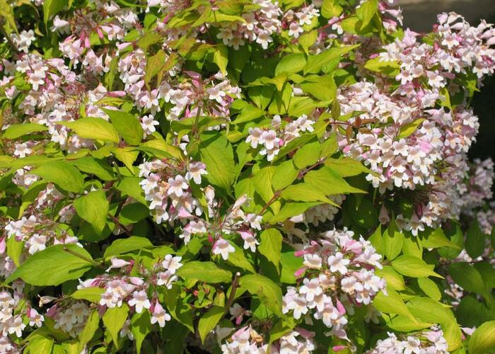 Kolkvície krásná 'Maradco' - Kolkwitzia amabilis 'Maradco'