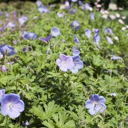 Kakost himalájský 'Irish Blue' - Geranium himalayense 'Irish Blue'