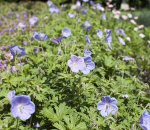 Kakost himalájský 'Irish Blue' - Geranium himalayense 'Irish Blue'