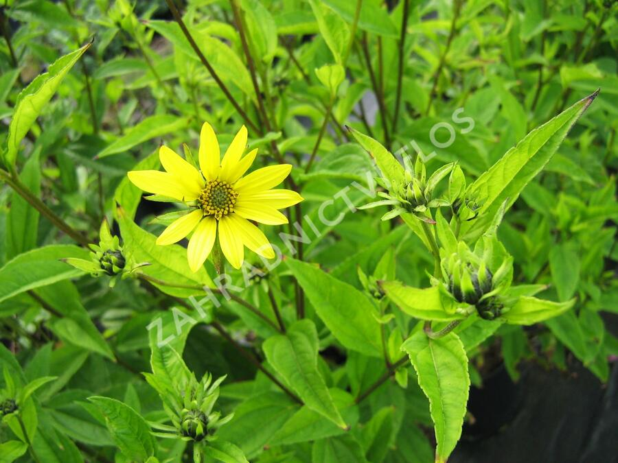 Slunečnice 'Lemon Queen' - Helianthus microcephalus 'Lemon Queen'
