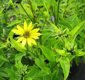 Slunečnice 'Lemon Queen' - Helianthus microcephalus 'Lemon Queen'