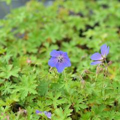 Kakost himalájský 'Alpinum' - Geranium himalayense 'Alpinum'