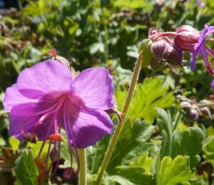 Kakost oddenkatý 'Bevan's Variety' - Geranium macrorrhizum 'Bevan's Variety'