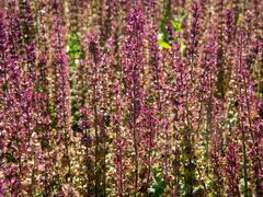 Šalvěj nádherná 'Edula Rose' - Salvia superba 'Edula Rose'