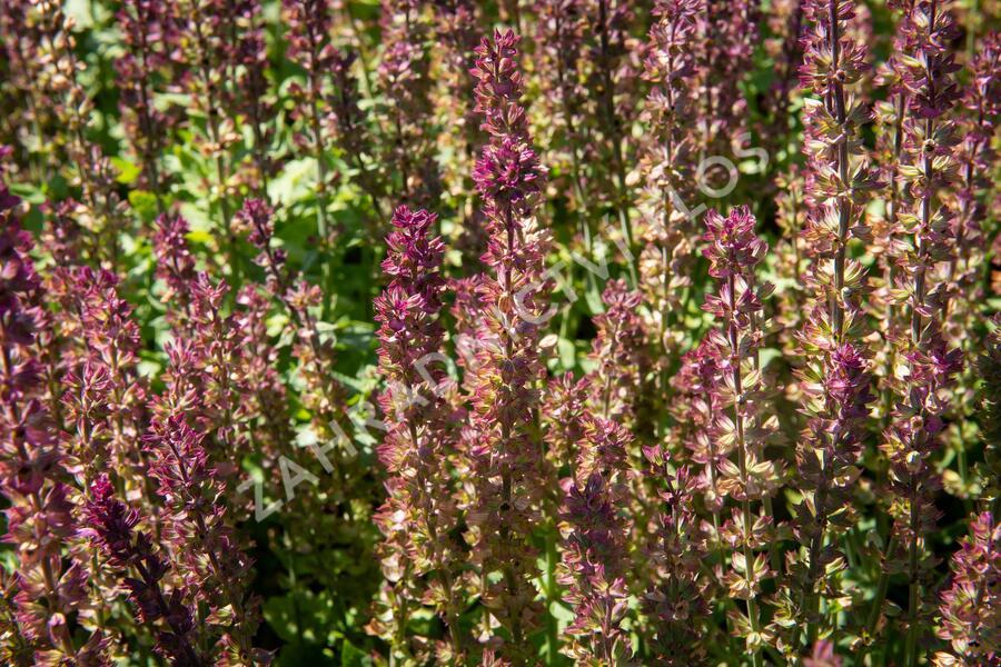 Šalvěj nádherná - Salvia superba 'Edula Rose'