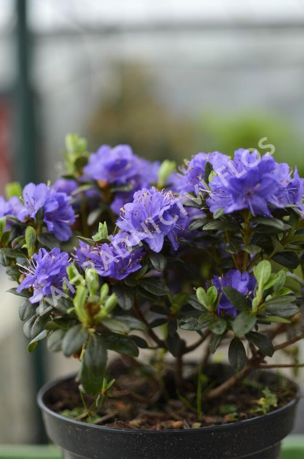 Pěnišník obtížený 'Azurika' - Rhododendron impeditum 'Azurika'