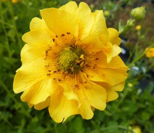 Kuklík chilský  'Goldball' - Geum chiloense 'Goldball'