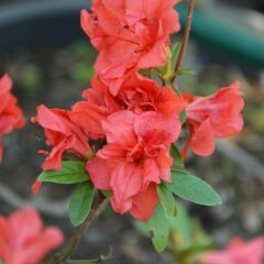 Azalka japonská 'Rosso Chiaro' - Azalea japonica 'Rosso Chiaro'