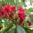 Pěnišník 'Vulcan' - Rhododendron (T) 'Vulcan'
