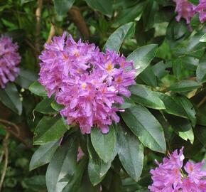 Pěnišník černomořský - Rhododendron ponticum