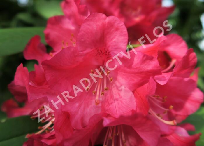 Pěnišník 'Berliner Liebe' - Rhododendron 'Berliner Liebe'