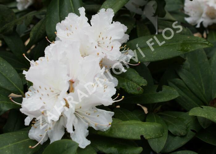 Pěnišník 'Jacksonii' - Rhododendron (T) 'Jacksonii'