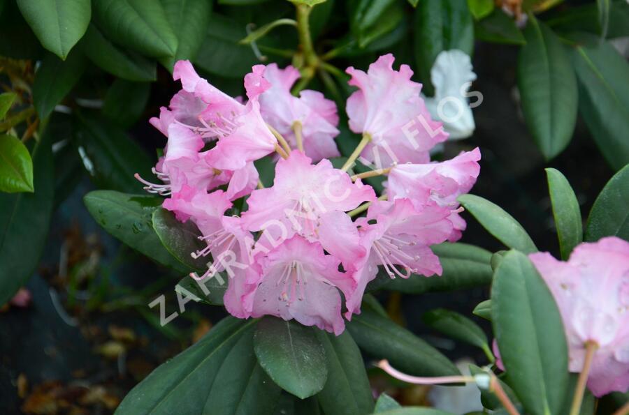 Pěnišník 'Tatjana' - Rhododendron (Y) 'Tatjana'