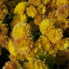 Listopadka indická 'Bienchen' - Dendranthema indicum 'Bienchen'