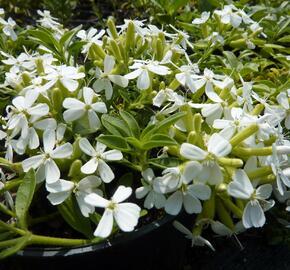 Mydlice bazalkovitá 'Snow Tip' - Saponaria ocymoides 'Snow Tip'