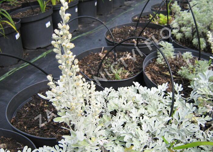 Pelyněk stříbřitý 'Mori's Form' - Artemisia stelleriana 'Mori's Form'