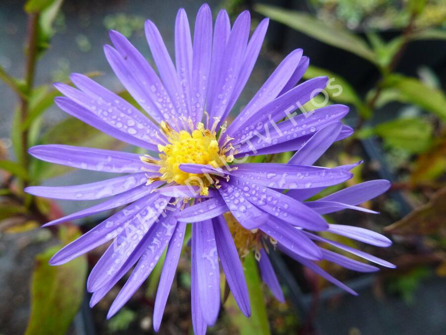 Hvězdnice keříčkovitá 'Blaue Lagune' - Aster dumosus 'Blaue Lagune'