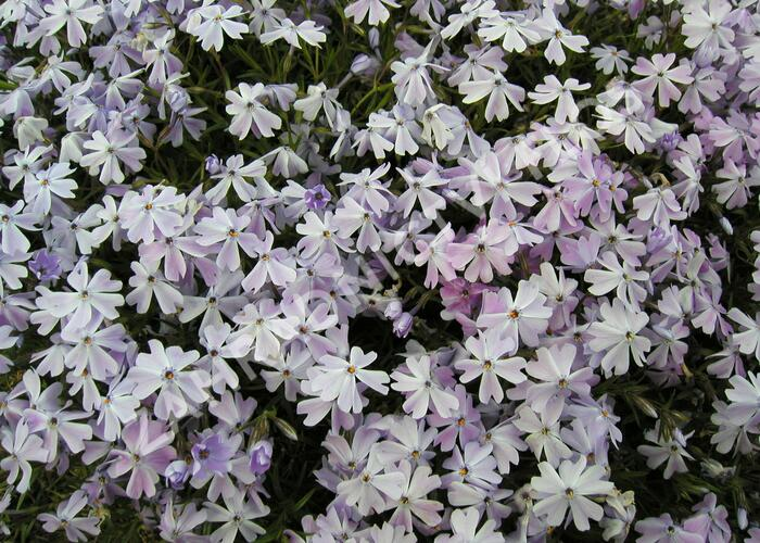 Plamenka šídlovitá 'Emerald Cushion Blue' - Phlox subulata 'Emerald Cushion Blue'