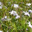 Plamenka šídlovitá 'Emerald Cushion Blue' - Phlox subulata 'Emerald Cushion Blue'