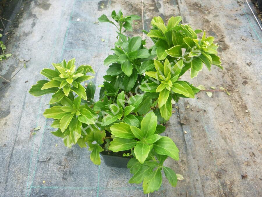 Tlustonitník klasnatý 'Green Sheen' - Pachysandra terminalis 'Green Sheen'