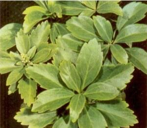 Tlustonitník klasnatý 'Green Carpet' - Pachysandra terminalis 'Green Carpet'