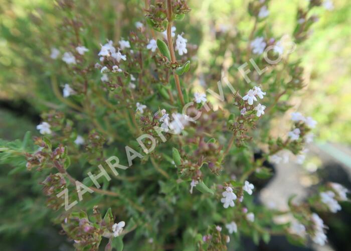 Tymián obecný 'Tim' - Thymus vulgaris 'Tim'