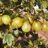 Angrešt žlutý 'Invicta' - Grossularia uva crispa 'Invicta'