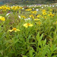 Záplevák podzimní 'Helena Yellow' - Helenium autumnale 'Helena Yellow'