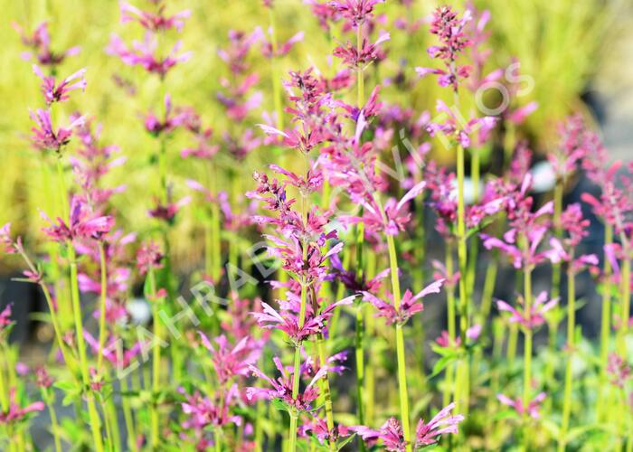 Agastache 'Summer Love' - Agastache 'Summer Love'