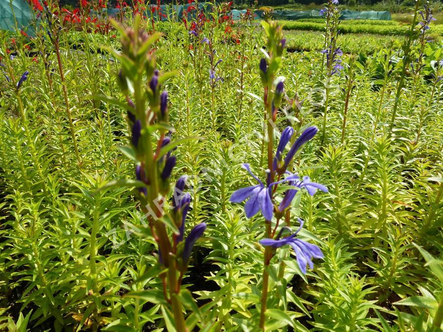 Lobelka - Lobelia sessilifolia