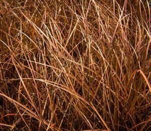 Ostřice bičíkovitá 'Auruga' - Carex flagellifera 'Auruga'