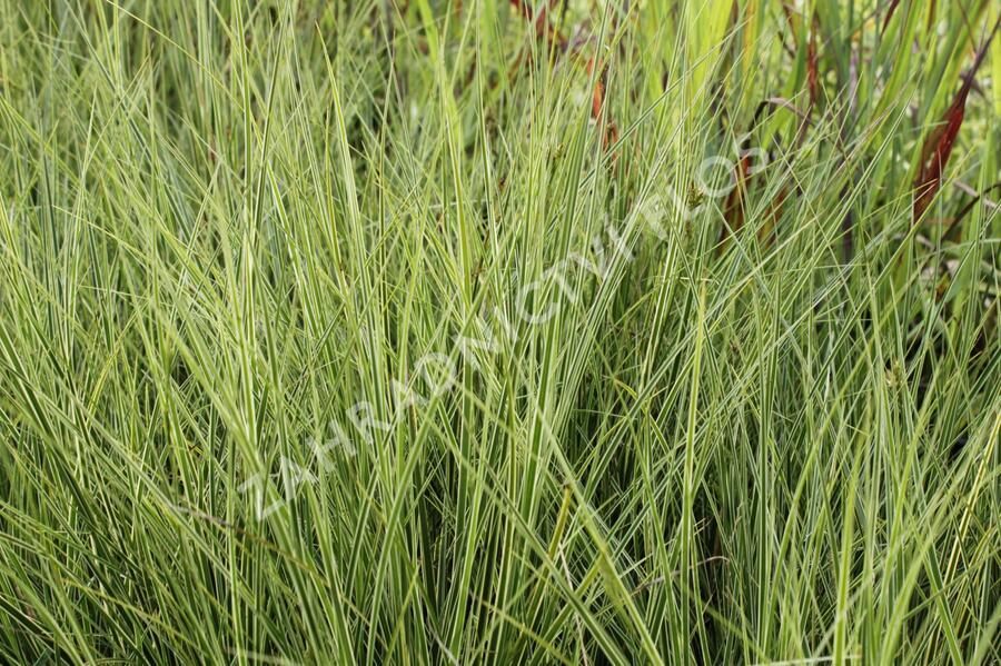 Ostřice 'Variegata' - Carex brunnea 'Variegata'