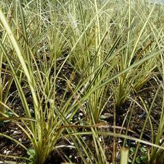 Ostřice 'Jenneke' - Carex brunnea 'Jenneke'
