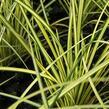 Ostřice 'Camara' - Carex brunnea 'Camara'