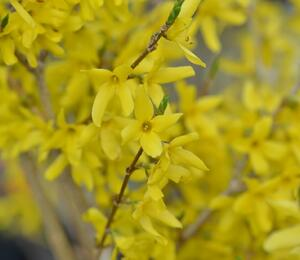 Zlatice nejzelenější 'Bronxensis' - Forsythia viridissima 'Bronxensis'