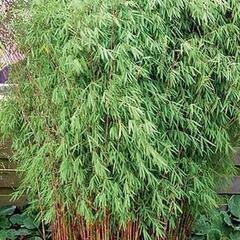 Bambus 'Jiu' - Fargesia 'Jiuzhaigou'