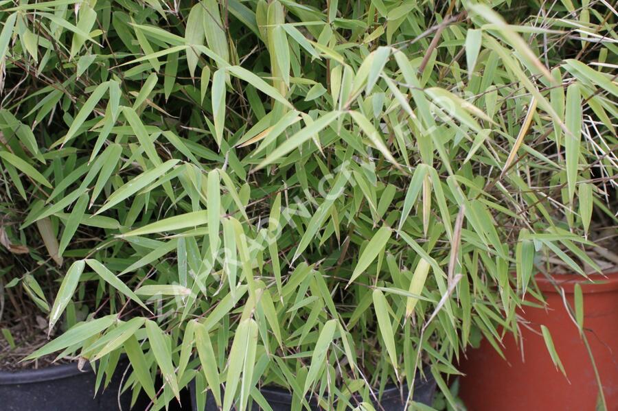 Bambus 'Jiu' - Fargesia 'Jiu'