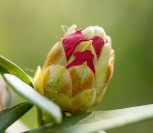 Pěnišník 'Bad Zwischenahn' - Rhododendron (Y) 'Bad Zwischenahn'