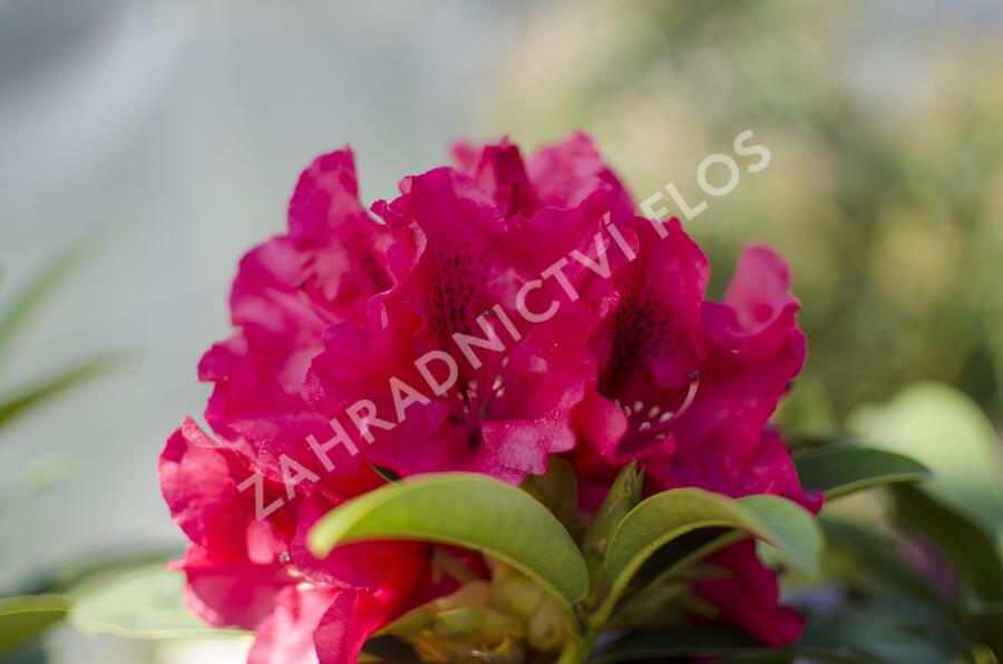 Pěnišník 'Wilgen's Ruby' - Rhododendron (T) 'Wilgen's Ruby'