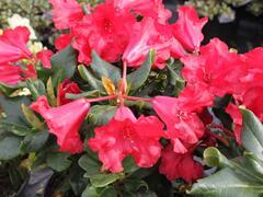 Pěnišník 'Scarlet Wonder' - Rhododendron (R) 'Scarlet Wonder'