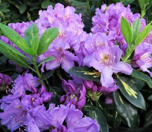Pěnišník 'Goldflimmer' - Rhododendron (T) 'Goldflimmer'