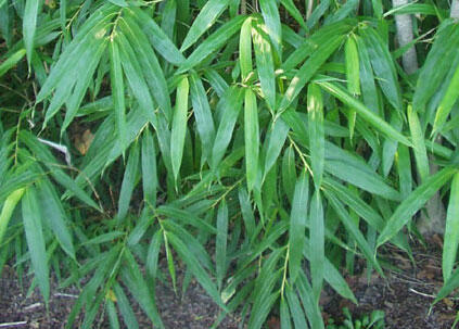 Bambus - Pseudosasa japonica