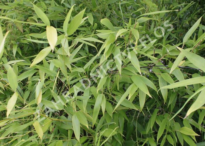 Bambus - Phyllostachys nigra
