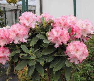 Pěnišník 'Tina Heinje' - Rhododendron (Y) 'Tina Heinje'