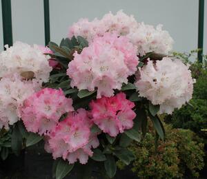 Pěnišník 'Milano' - Rhododendron (Y) 'Milano'