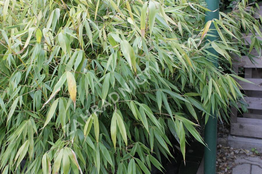 Bambus - Fargesia robusta