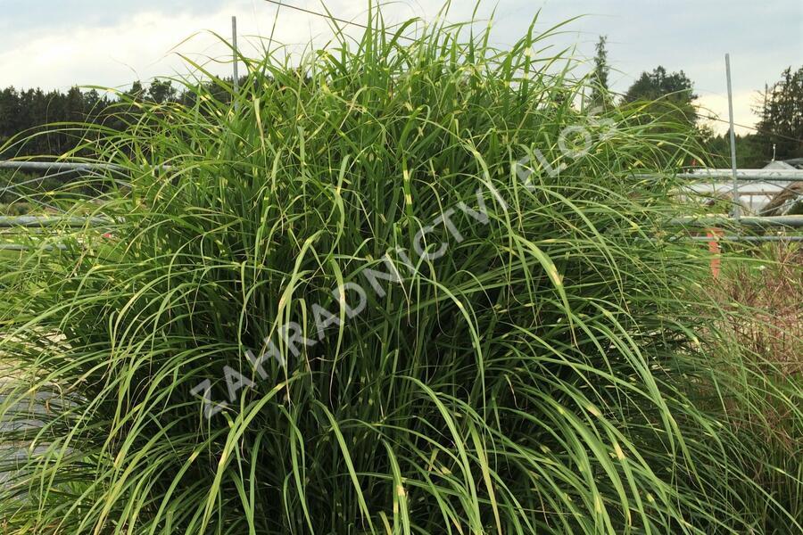 Ozdobnice čínská 'Puenktchen' - Miscanthus sinensis 'Puenktchen'